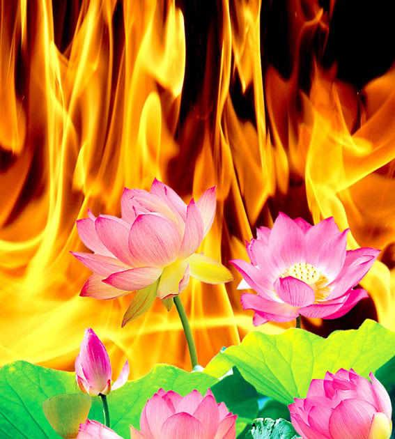 hoa sen trong lò lửa